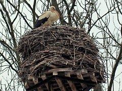 Osamocený čáp bílý na hnízdě v Horním Třeboníně na Českokrumlovsku.