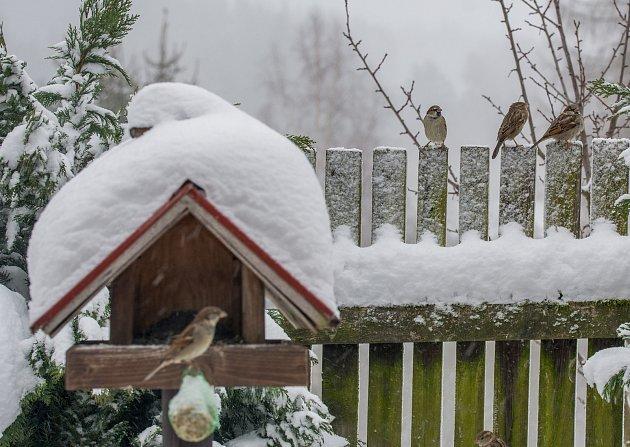Vrabci domácí zalétávali ina krmítko Pavla Sojky ve Světlíku.