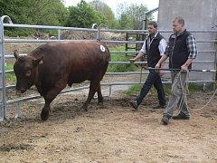 Základní výběr plemenných býků v Brloze.