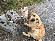 Tito dva ztracení psi měli štěstí. K páníčkům se díky pomoci lidí vrátili.