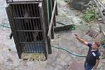 Na krumlovský zámek se přestěhovala medvíďata, přivezli je z olomoucké zoo.