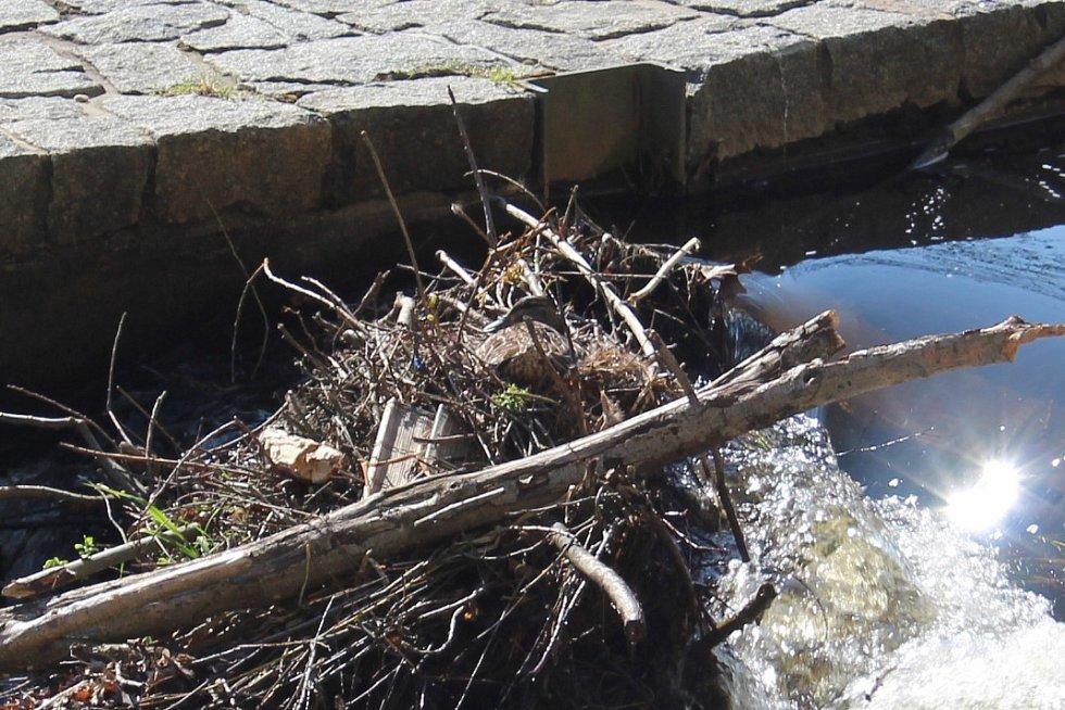 Kachna divoká zahnízdila na šlajsně pod Plášťovým mostem.