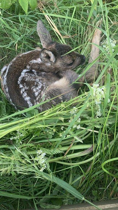 Záchranáři na Vyšebrodsku vyrážejí na louky kolem půl páté ráno. Nalezená srnčata dají do bedny, kde mohou být až osm hodin.