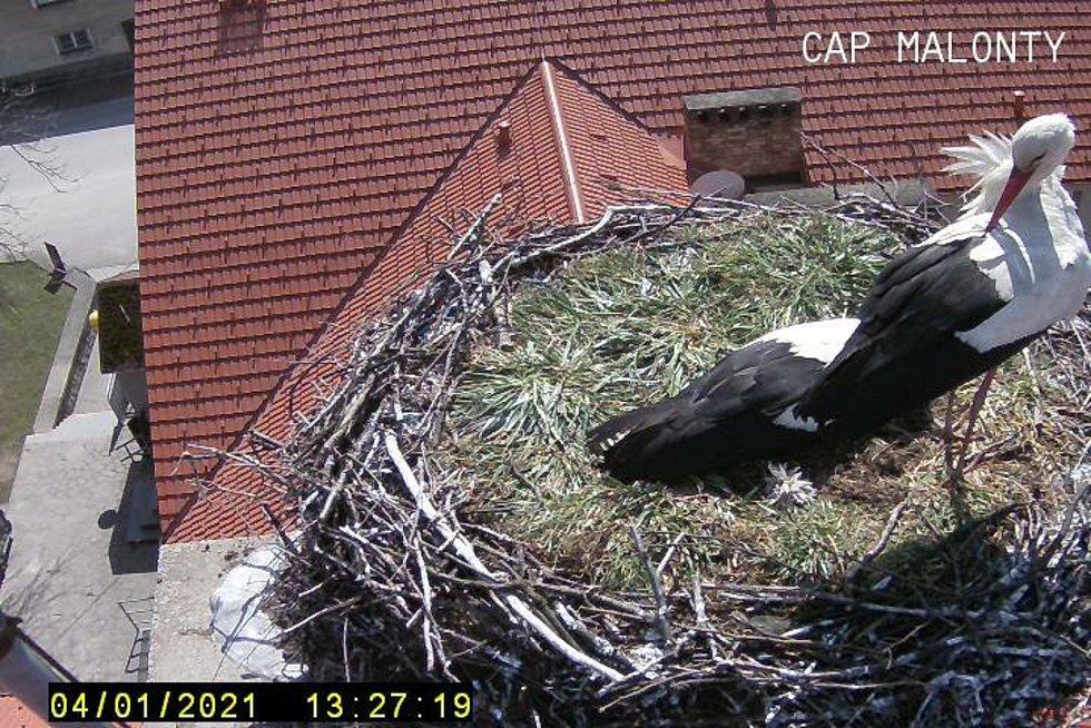 Čápi se vrátili i do svého hnízda v Malontech, kde díky kamerám mohou zájemci sledovat, co se u čápů doma děje.