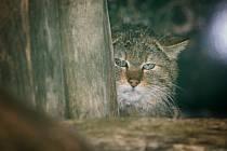 Kočku divokou uvidíte v mini zoo v lipenském Království lesa.