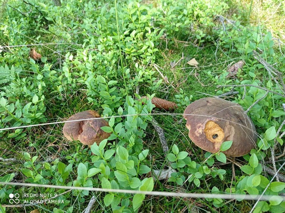 Houbaři se ve skupině Houby pochlubili svými prvními úlovky. Takhle rostou na Domažlicku.