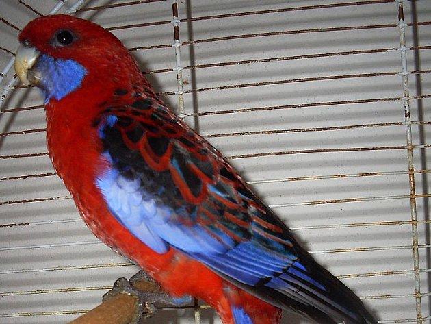 Papoušek čeká na svého majitele v českokrumlovském útulku.