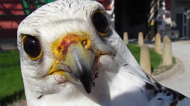 Vzácného dravce, který se zatoulal majiteli, odchytili ornitologové v areálu přerovské chemičky Precheza