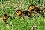Malá káčata už brázdí brodecké rybníky