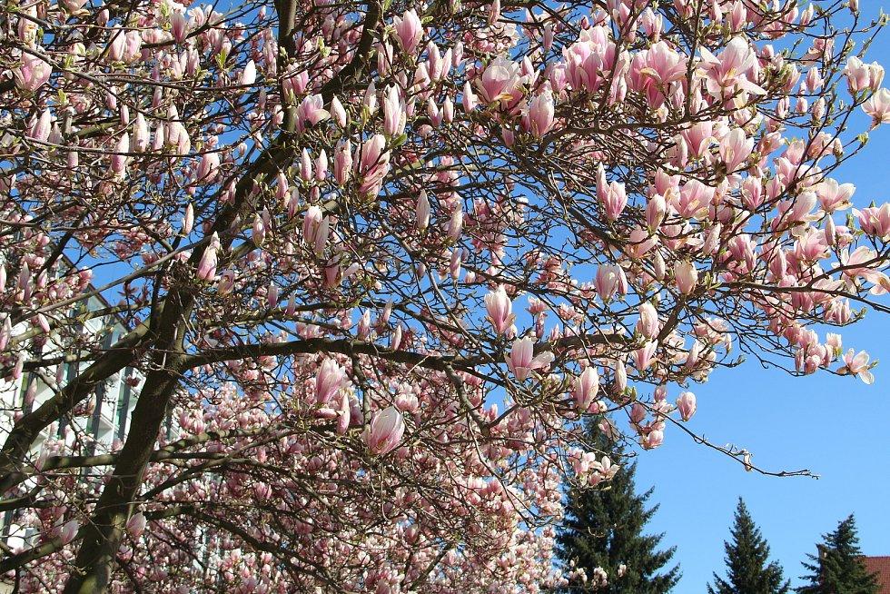 Procházka ulicemi Přerova v těchto dnech lahodí oku. U Přerovanky rozkvetly magnolie a o zkrášlení prostranství se postaraly také pestrobarevné květinové koberce, které nechalo vysázet město na náměstí Svobody nebo u kina Hvězda.