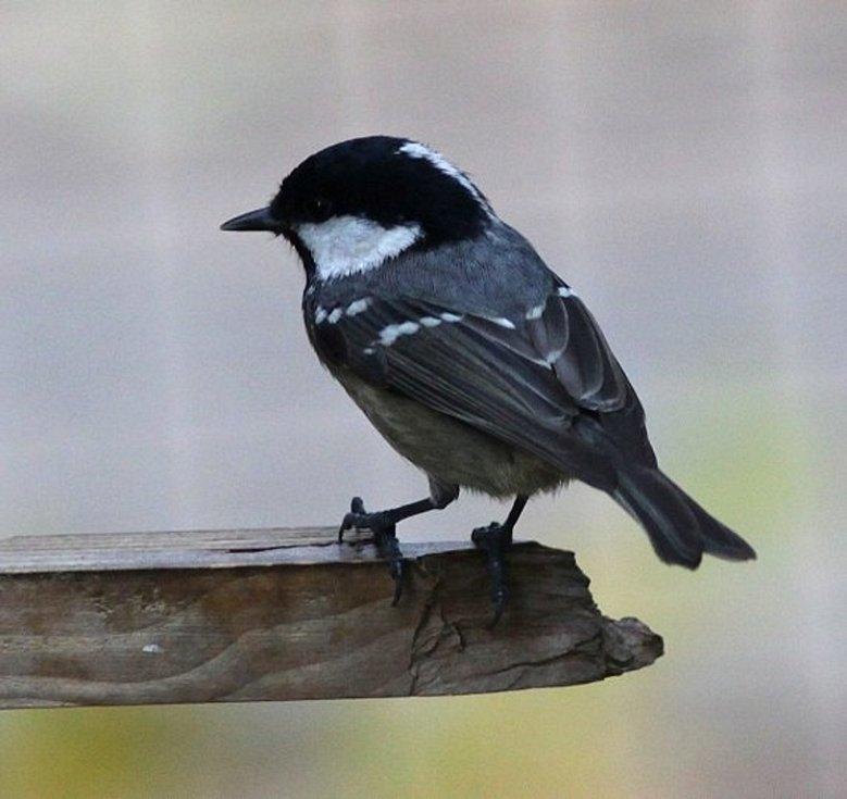 Pozorování ptáků u krmítek