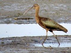 Vzácný ibis hnědý na Hradeckém rybníku v Tovačově