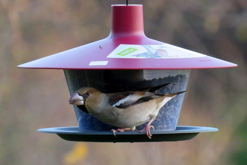 Sčítání ptáků na krmítkách se stalo vyhledávanou zábavou - na snímku je dlask tlustozobý