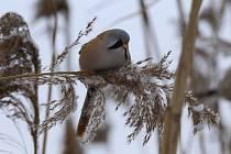 Sýkořice vousatá byla letos v zimě zpozorována na Tovačovsku