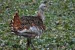 Na Hané se objevil největší polní pták Evropy - drop velký