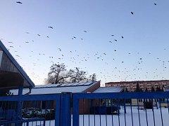 Havrani a kavky z velké části střední Moravy se na noc slétají do Přerova. Tisíce ptáků obsadí stromy rezervace Žebračka. Jde o výhodnou ptačí strategii, díky níž mohou tito krkavcovití lépe čelit případnému nebezpečí.