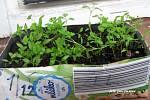 Zelenina se dá doma vypěstovat i v zimě.