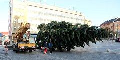 """Pracovníci technických služeb káceli, převáželi a poté usazovali na své nové místo vánoční strom. Jedle bělokorá, která pochází z Želatovské ulice je stará přes čtyřicet let a """"soutěžila"""" s dalšími dvanácti kandidáty."""