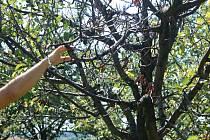 Jen oči pro pláč zbyly pěstitelce Ludmile Pešákové z Domaželic na Přerovsku. Úrodu švestek poničily mrazy a na devíti stovkách stromů se objevilo jen pár plodů