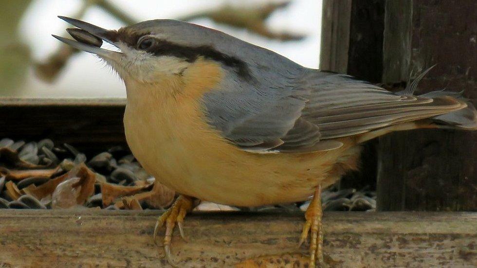 Sčítání ptáků na krmítkách se stalo vyhledávanou zábavou - na snímku brhlík lesní