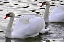 Šest labutí mohli v těchto dnech pozorovat na řece Bečvě u elektrárenského mostu v Přerově