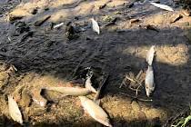Úhyn ryb na řece Bečva v okolí hustopečského mostu v neděli 20. září 2020 odpoledne.