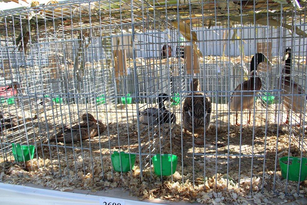 Chovatelská výstava v Přerově, září 2020