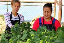 V zemědělském družstvu v Kokorách začala sklizeň chmele