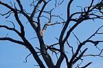 Usychající stromy v Přerově