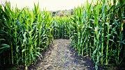 Kukuřičné bludiště