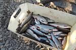 Hasiči odstraňovali následky masivního úhynu ryb na řece Bečvě, a to na třicet kilometrů dlouhém úseku.