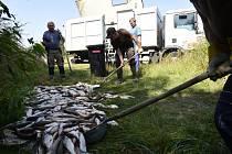 Rybáři nakládají leklé ryby z řeky Bečvy 21. září 2020 v Hustopečích nad Bečvou na Přerovsku.