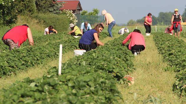 Letošní samosběr jahod v Bochoři ovlivnilo sucho. I tak lidé plantáže brali útokem