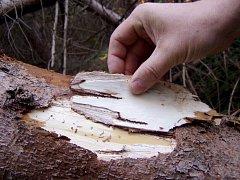 Smrky na Přerovsku ohrožují kůrovci. I na první pohled zdravý strom může být napadený lýkožroutem.