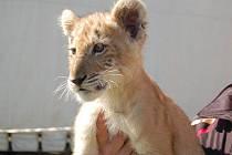 Do Přerova s cirkusem Arlet zavítal i vzácný kříženec lvice a tygra, tigon