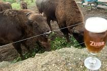 Novým patronem zubrů v olomoucké ZOO na Svatém Kopečku se stal pivovar Zubr z Přerova.
