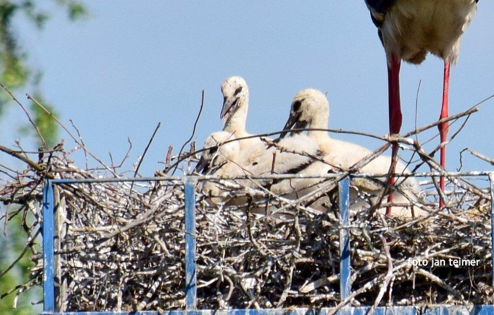 Čápi v Brodku u Přerova mají tři mladé.