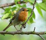 Ptákem roku 2016 je červenka obecná