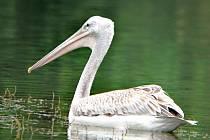 Na jezeře v Moravičanech objevili pracovníci chráněné krajinné oblasti Litovelské Pomoraví vzácného pelikána afrického. Přerovští ornitologové vypátrali, že pták pochází ze zoologické zahrady v Salzburgu a pomohli mu najít domov