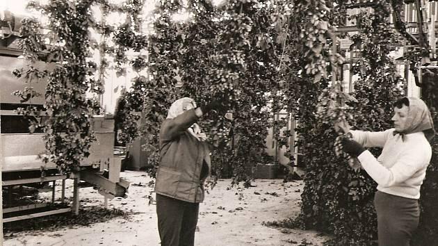 Ženy pracujících při sklizni chmele v nově postavené česačce chmele ve Výklekách v roce 1981.