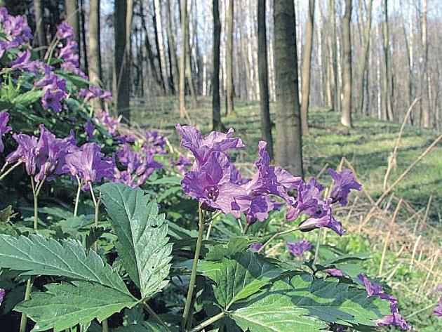 Kyčelnice žláznatá je jednou ze vzácných bylin, které jsou k vidění v Dřevohostickém lese.