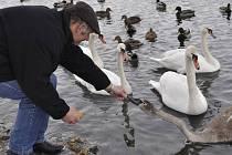 Labutě na soutoku Bečvy a Strhance jsou pro obyvatele Přerova velkou atrakcí