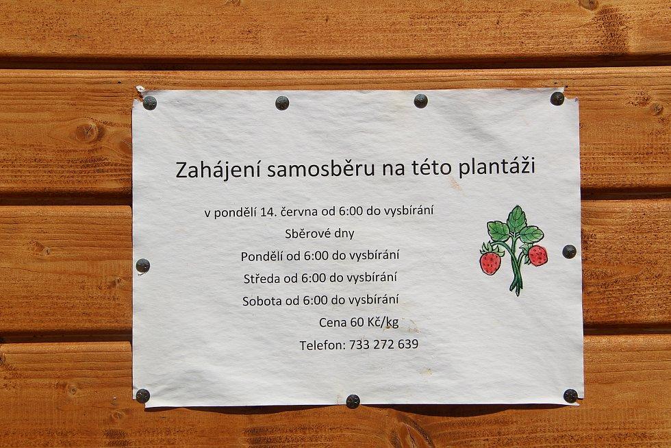 Jahodové plantáže v Bochoři, 19. června 2021
