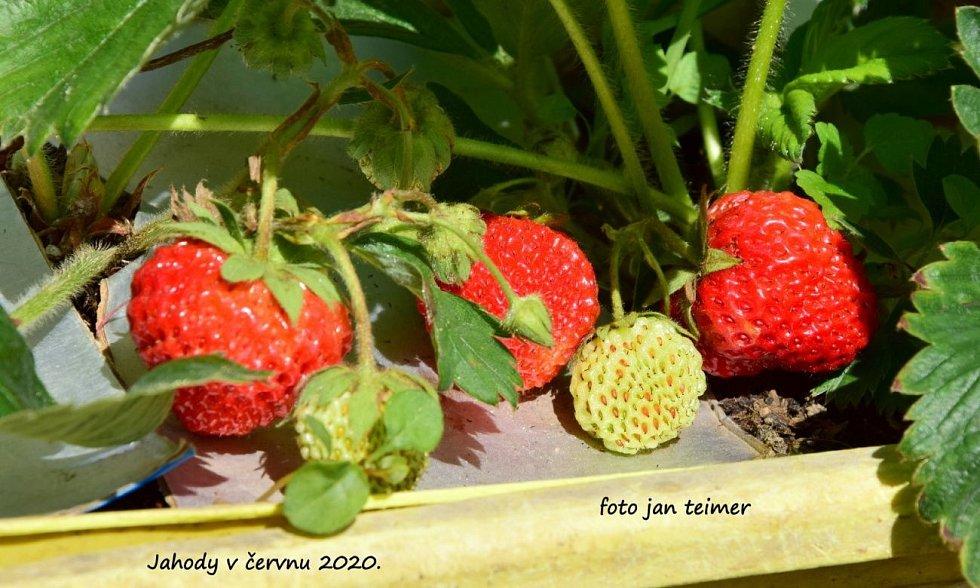Jahody pěstované doma v truhlíku