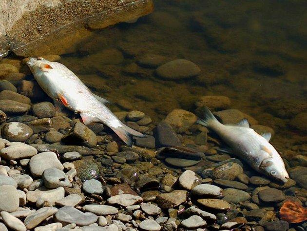 Úhyn ryb na Bečvě mezi Dluhonicemi a Troubkami