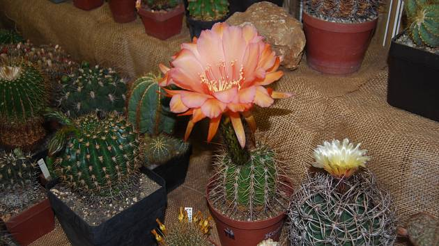 Výstava kaktusů v Přerově.