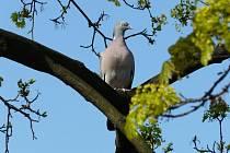 Přilétají první ptáci, kteří signalizují příchod jara – holub hřivnáč