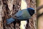Do Přerova se opět po roce vrátila neobvykle zbarvená melanistická sýkora modřinka.