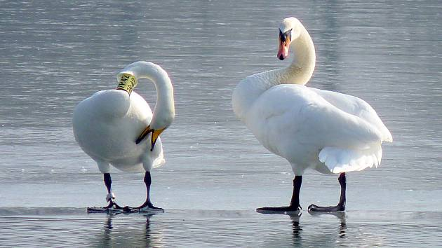 Labuť zpěvná - Zpěvanka se prochází po ledu.