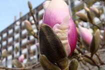 Kvetoucí růžové magnolie u Přerovanky v Přerově